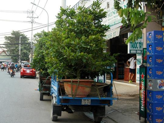 Thương lái từ các nơi cũng tìm đến để đặt mua mai sớm vì sợ hết hàng và không còn cây đẹp, ưng ý để chọn.
