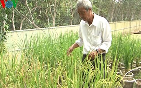 PGS-TS Võ Công Thành tại trại thực nghiệm các giống lúa chịu mặn