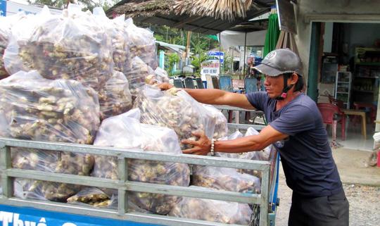 Nhiều hộ dân đành vận chuyển gừng ra chợ bán với giá khoảng 10.000 đồng/kg