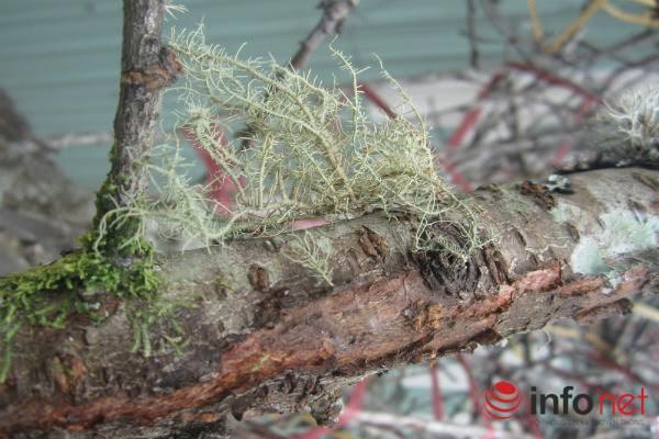 Nhiều khách hàng quan niệm chọn thân cây mốc, sần xùi, rêu phong có thế tự nhiên sẽ tạo cảm giác phúc lộc, sum vầy.