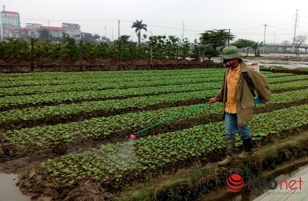 Ruộng rau từ khi mới nảy vài lá mầm đã được phun thuốc