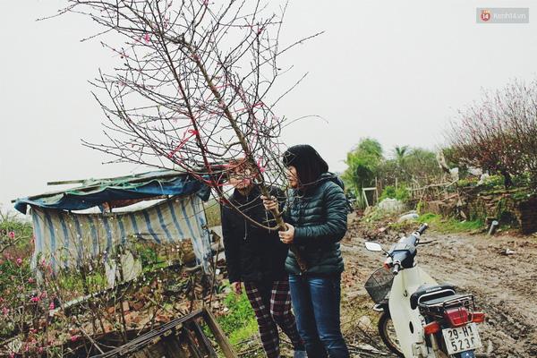 Nhiều khách đến tận ruộng chọn mua hoa đào.