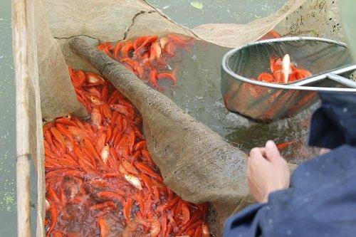 Cá chép đỏ làng Thủy Trầm được thả nuôi từ tháng 6 âm lịch cùng các loại giống cá thường khác. Và bắt đầu thu hoạch từ ngày 18 đến ngày 21 tháng 12 âm lịch. Ảnh: Lê Linh