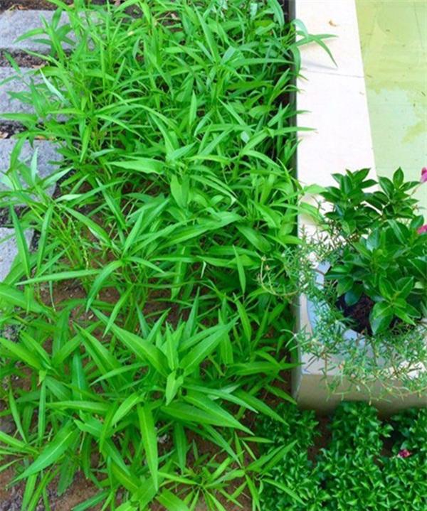 Không chỉ có hoa và cây cảnh, gia chủ còn tự tay trồng rau sạch.