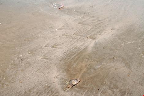 Và cá vẫn tiếp tục chết, tấp vào bờ biển xã Cảnh Dương