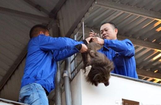 Các cơ quan chuyên môn phải dùng ống bắn thuốc mê mới bắt được con khỉ