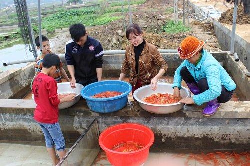 Cá phải được thu hoạch trước 2 đến 4 ngày để đưa vào bể ép xi măng. Bác Hà Công Mạnh, một người dân nuôi cá chép đỏ lâu năm trong làng giải thích, sở dĩ phải đưa cá vào bể ép sục oxi để cá làm quen với môi trường chật hẹp khi vận chuyển, hơn nữa cá bị bỏ đói sẽ thải hết chất thải, khi vận chuyển đường dài, độ xóc lớn, cá mới không bị ngạt, vỡ bụng. Ảnh: Lê Linh