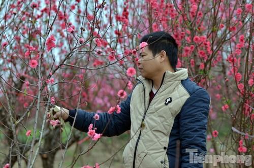 Vườn đào nhà ông Thuận (Nhật Tân, Tây Hồ, Hà Nội) có khoảng 500 cây đào đang nở hoa sau Tết. Gia đình cho biết, năm nay thua lỗ hàng trăm triệu đồng vì đào nở muộn.