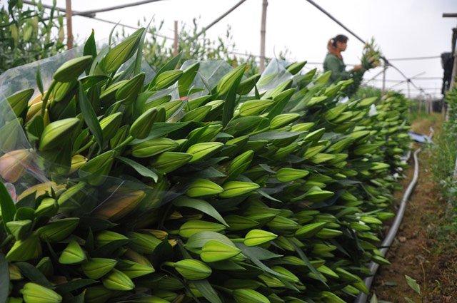 Dù giá hoa rẻ mạt nhưng nhiều hộ dân vẫn phải ngậm ngùi thu hoạch.