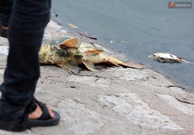 Nhiều con cá nặng khoảng 2,3 kg dạt vào bờ