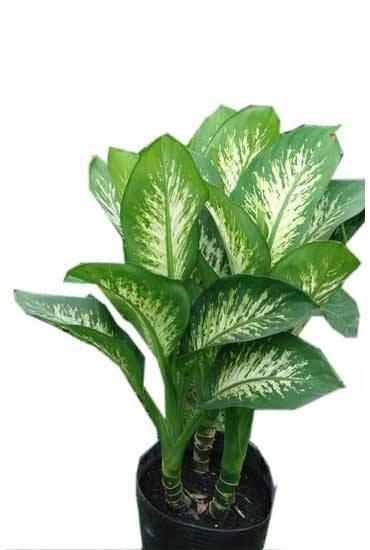 Cây vạn niên thanh là một loài cây khá phổ biến và được rất nhiều gia đình trồng trong nhà. Tuy rất dễ trồng và được xem là loại cây hút tài lộc nhưng tất cả bộ phận của cây đều có độc. Vì vậy, phải thật cẩn trọng khi trồng loại cây này trong nhà