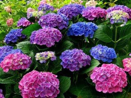 Hoa cẩm tú cầu thường nở những bông hoa cỡ lớn với màu sắc quyến rũ khiến nhiều người khá thích thú và muốn trồng chúng trong nhà. Tuy nhiên, hãy cẩn thận với lá và củ cây bởi trong đó có chứa chất Hydragin cyanogenic glycoside gây tiêu chảy, nôn mửa, thở gấp.