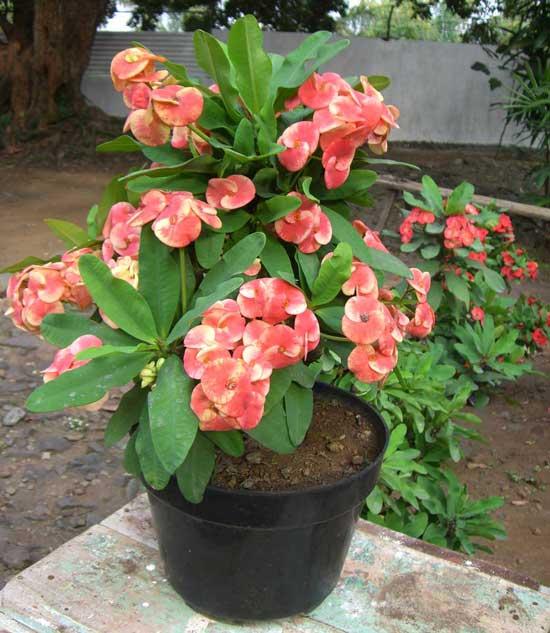Xương rồng bát tiên có tên khoa học là Euphorbia milii splendens. Theo các nhà thực vật học, nhựa của loại cây này gây bỏng rát da khi tiếp xúc.