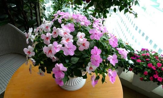 Ý tưởng phủ hoa lên lên ban công căn hộ bắt nguồn từ những lần về Canada - quê chồng. Chị cho biết ở Canada người ta trồng hoa và đặt trong phòng khách, phòng ăn, cạnh cửa sổ, bàn bếp... rất đẹp.