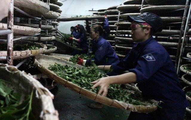 Xử lý trà oolong tươi bằng nong tre để tránh phát sinh tạp chất trong sản xuất của Công ty Fusheng - Ảnh: C.Thành