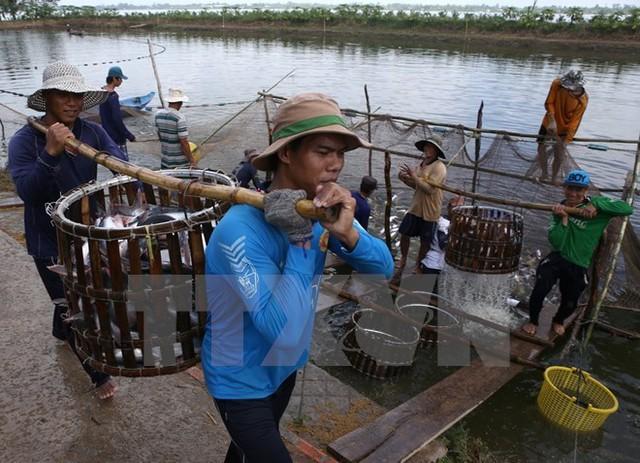 Thu hoạch cá tra tại Cần Thơ. (Ảnh: Duy Khương/TTXVN)