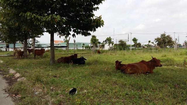 Một khu dân cư đầy... bò