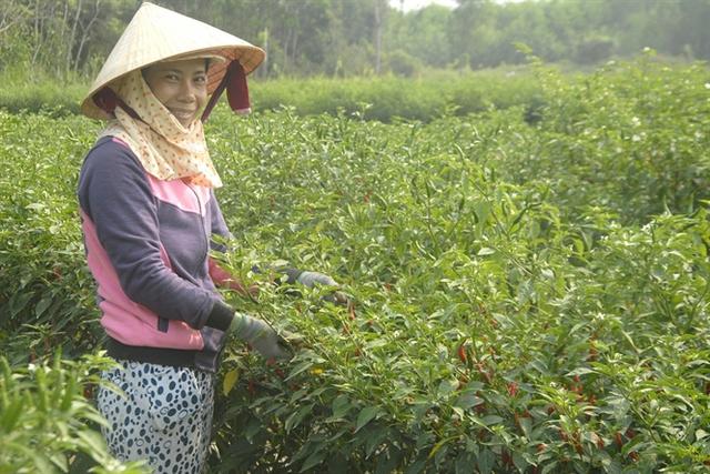 Nụ cười rạng rỡ trên gương mặt người trồng ớt chỉ thiên ở xã Bình Hòa (huyện Tây Sơn)