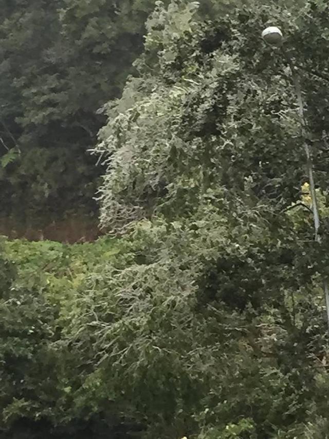 Hình ảnh băng bám cứng các cành cây trên Yên Tử. (Ảnh: P.Thủy)