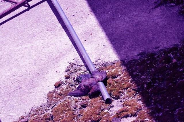 Xác chim chết trên đường phố Pripyat