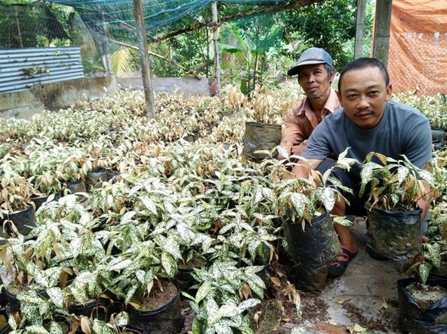 Vườn cây hoa kiểng của nhà anh Thuận chết khô vì thiếu nước