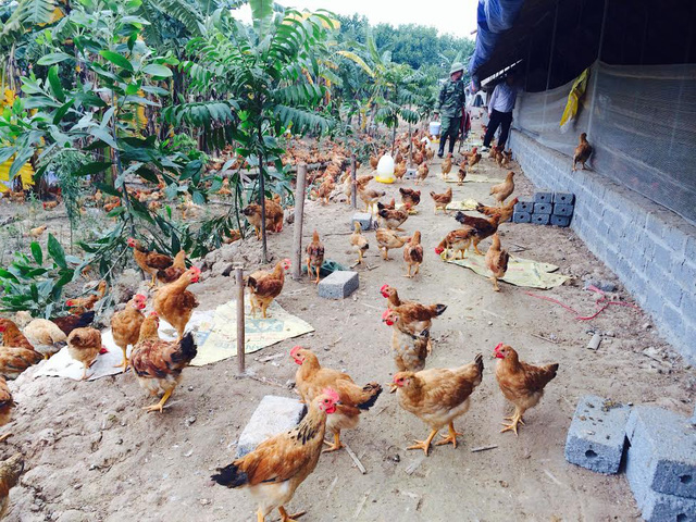 Người nuôi gà ri luôn có thu nhập ổn định ở mức khá cao