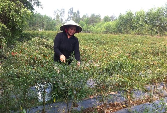 Chị Huỳnh Thị Hoa ở thôn Thuận Hòa, xã Bình Tân (huyện Tây Sơn) đang thu hoạch ớt