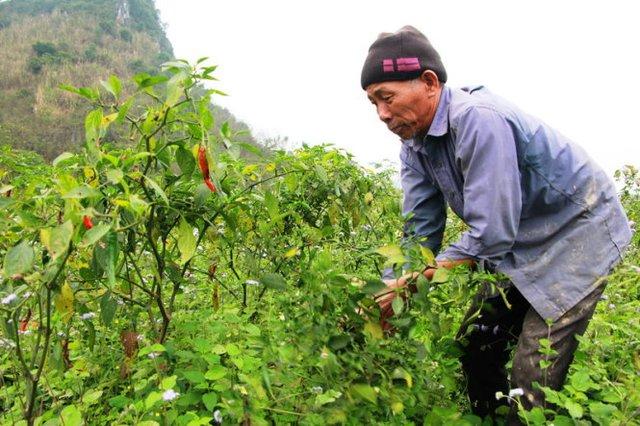 Ông Nguyễn Văn Minh (62 tuổi, xã Hoa Sơn, huyện Anh Sơn, Nghệ An) phải nhổ bỏ cây ớt đang cho thu hoạch - Ảnh: Doãn Hòa