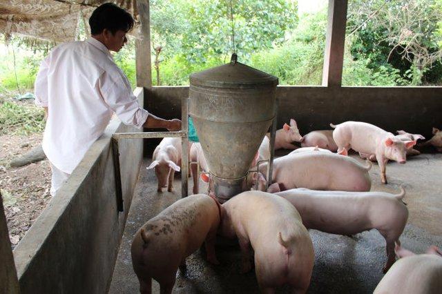 Với quy định mới về xử phạt hành vi đưa chất cấm vào chăn nuôi, người chăn nuôi sẽ phải thận trọng hơn trong lựa chọn nguồn thức ăn cho heo - Ảnh: Trần Mạnh