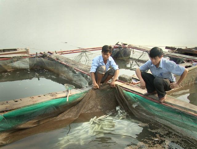 Người dân xã Kỳ Hà, thị xã Kỳ Anh (Hà Tĩnh) thất thần nhìn cá trong lồng chết nổi trắng - Ảnh: Văn Định