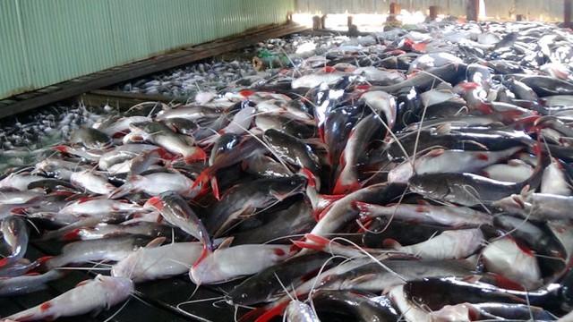 Do cá chết đột ngột bất thường nên người dân huy động công nhân vớt cũng không kịp - Ảnh: BỬU ĐẤU