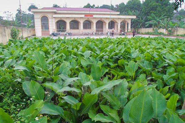 Những phiến dong xanh ngút ngàn được coi là niềm tự hào của người Tràng Cát (Ảnh: PV/Vietnam+)