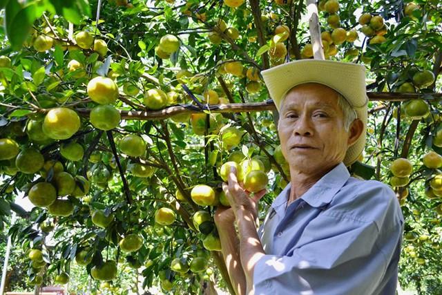 Vườn quýt này đã qua xử lý 2 lần hóa chất nhưng trái vẫn chưa chịu vàng