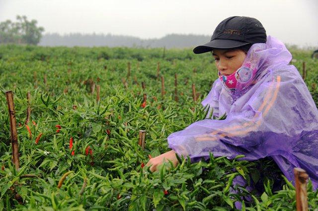 Những nông dân trồng ớt gần như đổ ra đồng hái ớt đem về bán - Ảnh: Trần Mai