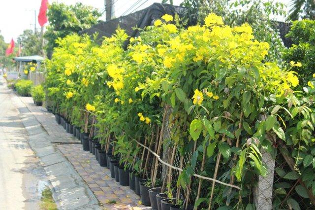 Màu vàng của hoàng yến tràn ngập làng hoa - Ảnh: Mạnh Khang
