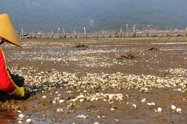 """Ghi nhận của PV, dọc quanh các bãi triều nuôi ngao tại xã Mai Phụ, xác ngao chết phủ trắng bãi. Hàng chục người dân đang cố gắng cào số ngao còn sống để bán cho thương lái nhằm """"gỡ gạc"""" số vốn đã bỏ ra."""