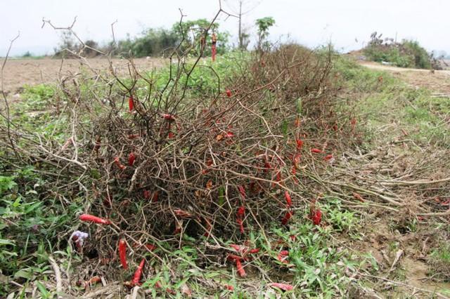 Nhiều cây ớt bị người dân nhỏ bỏ, vứt chỏng chơ dọc ruộng - Ảnh: Doãn Hòa