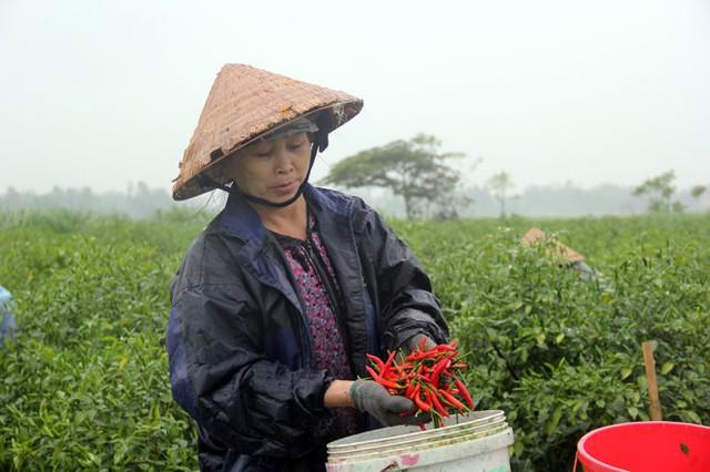 Giá ớt đang tăng cao đột biến ở Quảng Ngãi, theo các tiểu thương là do Trung Quốc ăn hàng mạnh - Ảnh: Trần Mai