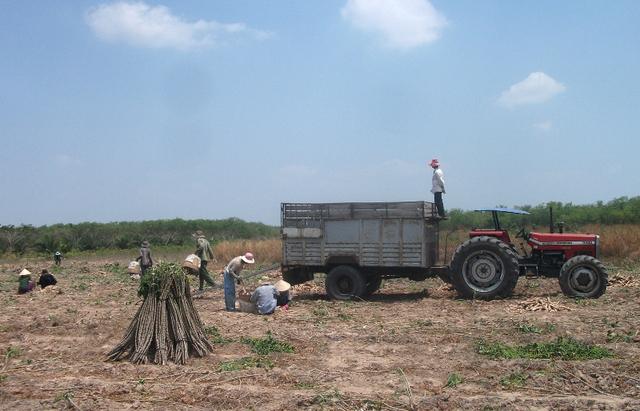 Người dân bắt đầu tận dụng những diện tích đất hoang rộng lớn trồng khoai mì và các loại cây ăn trái khác.