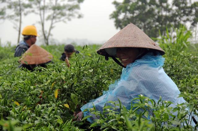 Người dân đang tranh thủ hái ớt để bán với giá cao - Ảnh: Trần Mai