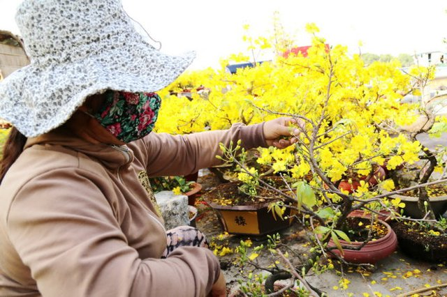 Chị Nguyễn Thị Kim Yến (Chợ Lách, Bến Tre) lặt bớt lá và hoa đã nở tại chợ hoa Trần Xuân Soạn Q7, TPHCM - Ảnh: Như Hùng