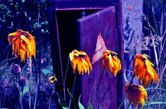 Hoa cúc vàng héo úa ở Pripyat
