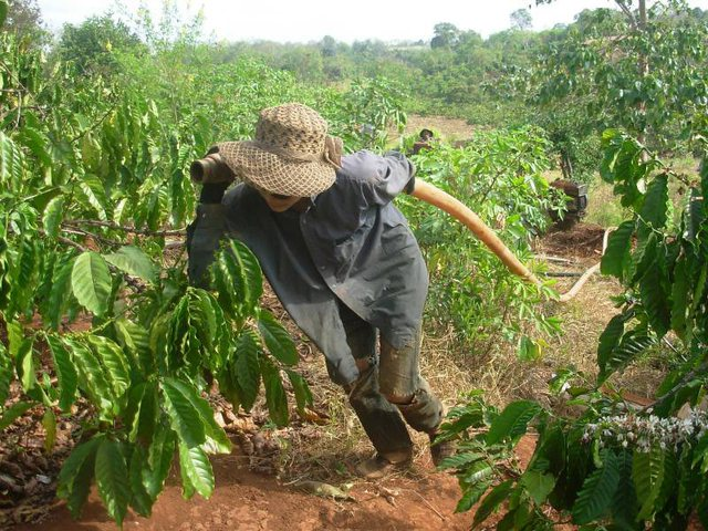Nông dân còng lưng kéo đường ống nước tưới cứu cà phê