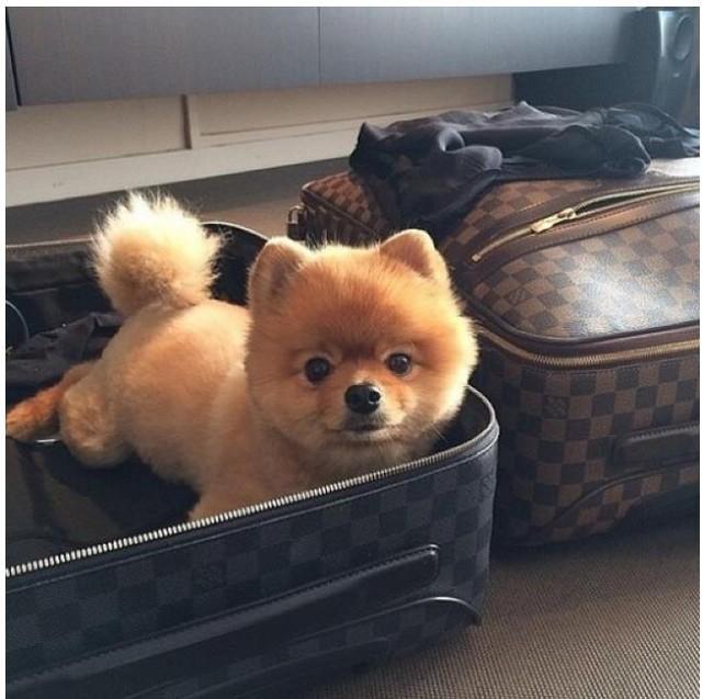 Thú cưng cũng có vali xịn