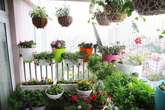 Để có một vườn hoa khoe sắc trên ban công thế này chị Mai đã phải bỏ ra nhiều công sức tìm hiểu về kỹ thuật chăm sóc cũng như, chăm chút từng tí cho các chậu hoa.