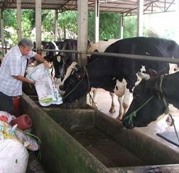 Công ty TH tiếp nhận 16.000 con bò sữa cho dự án tại Nghệ An