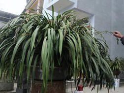 Chậu hoa địa lan Trần Mộng có 100 cành đang chuẩn bị nở hoa của gia đình anh Nguyễn Văn Minh, ở tổ 2, thị trấn Sa Pa có giá bán hơn 50 triệu đồng.