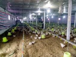 Hà Nội: Giá gà công nghiệp giảm 20% chỉ trong 1 tuần