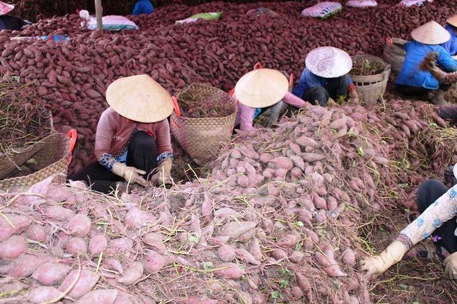Nông dân tiếp tục khóc ròng vì nông sản rớt giá