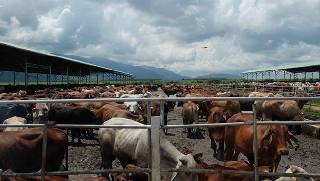 Khám phá trang trại nuôi bò -